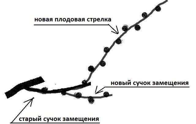 Схема рукава винограда