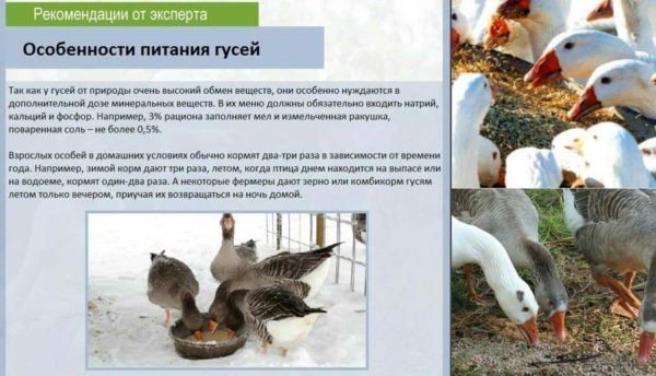 Питание гусей зимой