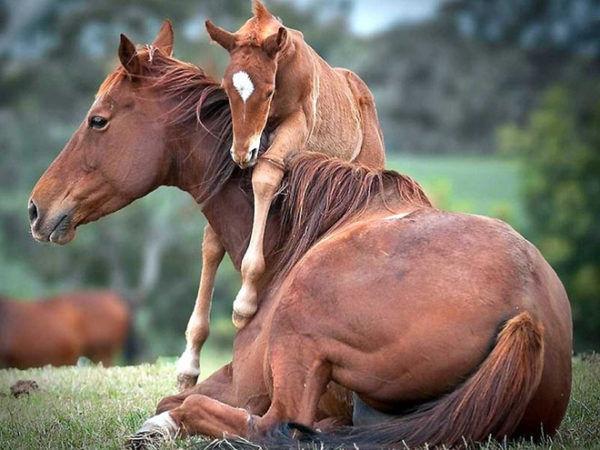 Сколько длится беременность у лошадей