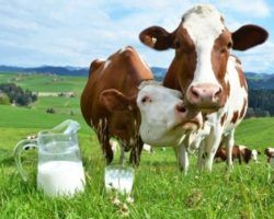 Сколько корова дает молока