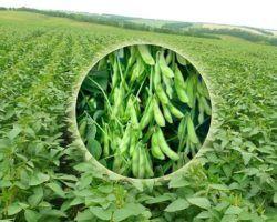 Традиционно выращивание сои велось только в дальневосточном регионе