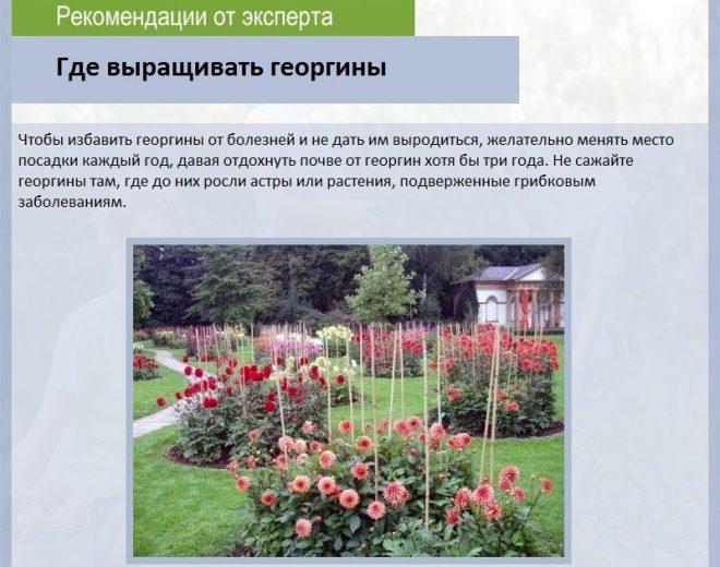 Где выращивать георгины