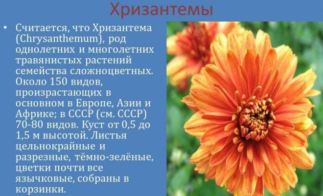 Хризантемы - описание