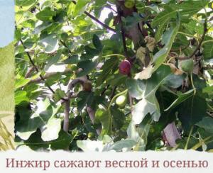 Инжир сажают весной и осенью