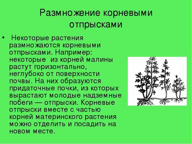 Пример того, как происходит разведение растений корневыми отпрысками