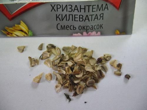 Выращивание хризантем из семян