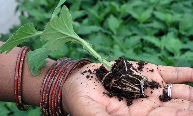 Выращивание хризантем в открытый грунт