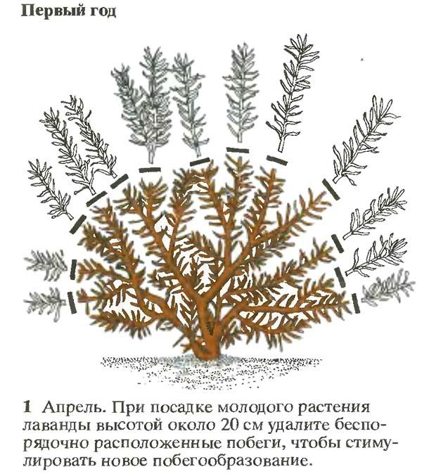 Выращивание лаванды