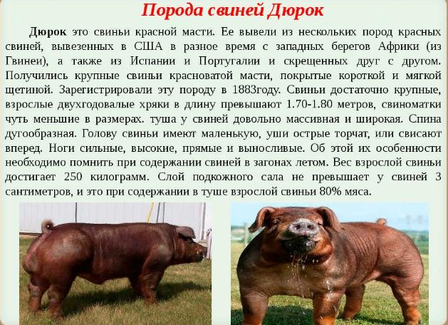 Порода свиней Дюрок