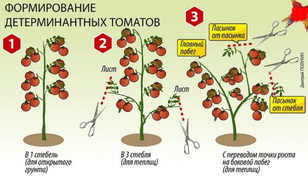 Пересадка помидоров Вельможа