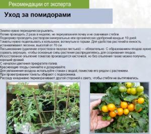 Уход за томатам сорта Вельможа