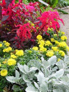 Tagetes и Amaranthus